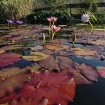Nenuphar - Jardins d'eau