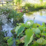 Etang - Jardins d'eau