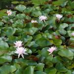 Nenuphars - Jardins d'eau