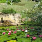 Nenuphars en fleurs - Jardins d'eau