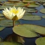 Nymphea jaune - Jardins d'eau