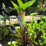 Plantes - Jardins d'eau