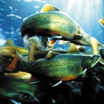 Aquarium du Bugue - saumon de fontaine