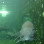 Aquarium perigord noir esturgeon