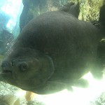 Aquarium perigord noir pirhana
