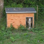 La Savie - chèvre